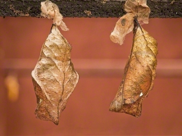 Pupae and cocoons