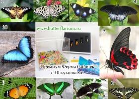 Оптимально: ферма бабочек + 10 куколок