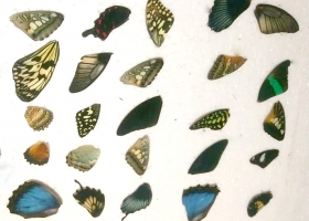 25 butterfly wings (mix)