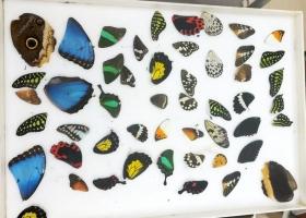 50 крыльев бабочек (микс)