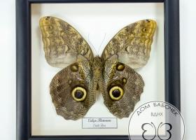 Бабочка Сова в рамке