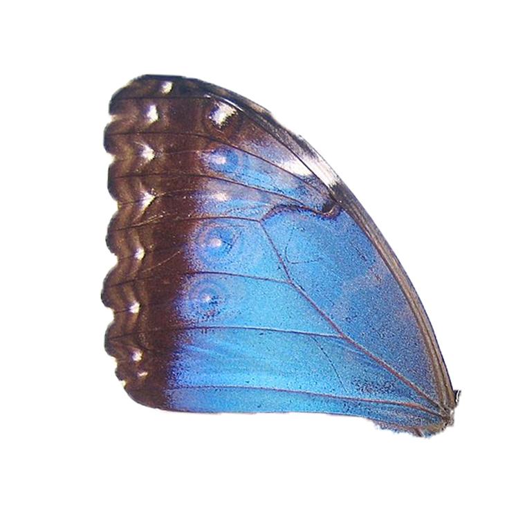 Upper wing Morpho