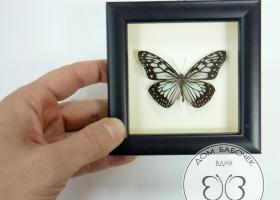 Бабочка Ювента в рамке