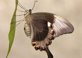 Swallowtail Palinurus