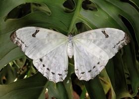 White Morpho Polyphemus