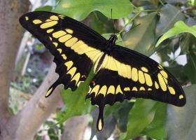 Swallowtail Thoas