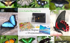 butterfly farm + 10 pupas