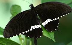 Swallowtail polytes