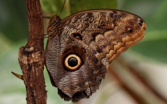 Pupa Kaligo Owl