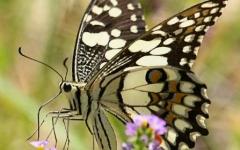 Swallowtail demoleus