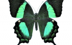 Lower wing Palinurus