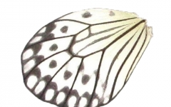 Idea wing (upper/lower)