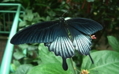 Swallowtail Memnon