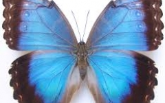 Lower wing Morpho