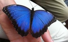 Pupa Blue Morph