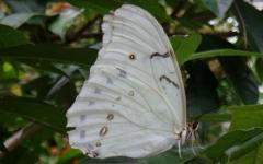 Белая Морфо Полифем