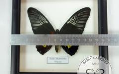 Золотая Птицекрылка (самка) в рамке