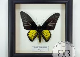 Золотая Птицекрылка (самец) в рамке
